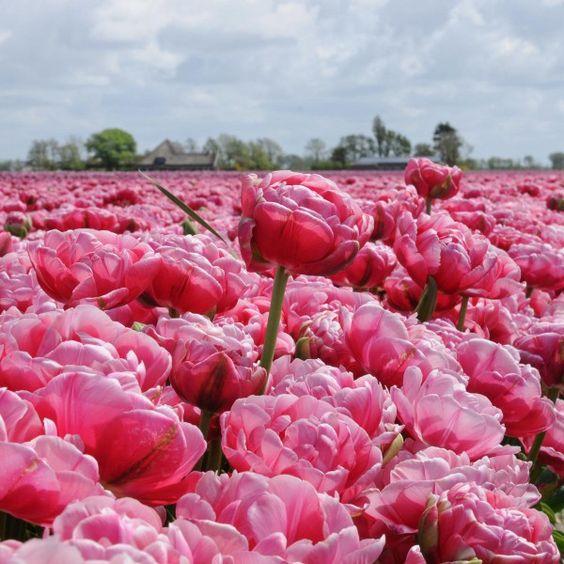 Tulpe 'Wedding Gift' - Wenn die Sonne auf sie scheint, werden ihre Blütenblätter zart rosa mit einem silbernen Rand. Ist es bewölkt, so erscheinen verschiedene zart rosa Farbtöne. Pflanzzeit ist im Herbst - online bestellbar bei www.fluwel.de