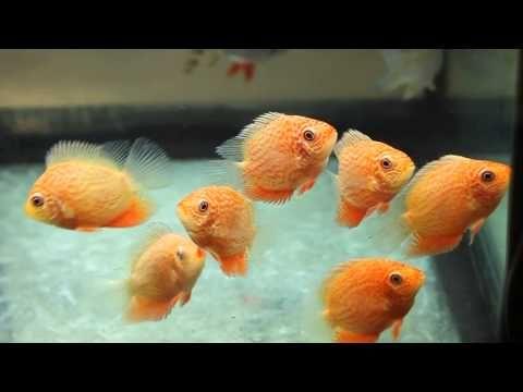 Golden Red Spot Severum On The Move Tropiquatics 6 14 13 Youtube In 2020 Salt Water Fishing Aquarium Set Golden Red