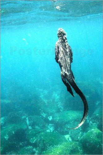 Marine Iguana Swimming | Und wieder hinauf zum Tanken... (nach: posterlounge.de)