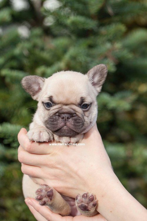 French Bulldog Coat Colors French Bulldog Puppies Bulldog