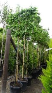 """Carpinus Betulus or Hornbeam Tree - excellent hedging plant. These trees have been trained on a tall frame to be used as a """"hedge"""" above the fence line (pleached). Also for sale online."""