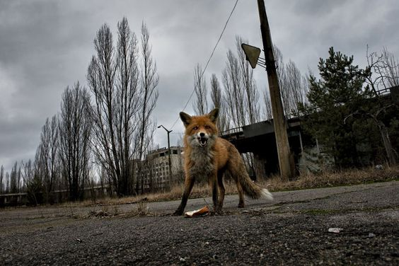 A fox in Chernobyl Photo and caption by pierpaolo |  2015 National Geographic Photo Contest