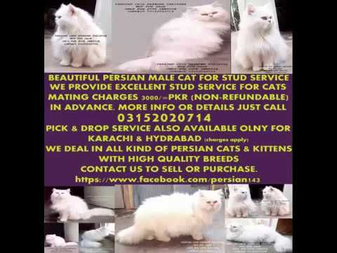 Persian Cats Breeder 03152020714 With Images Persian Cat Persian Cat Breeders Persian Cat Doll Face