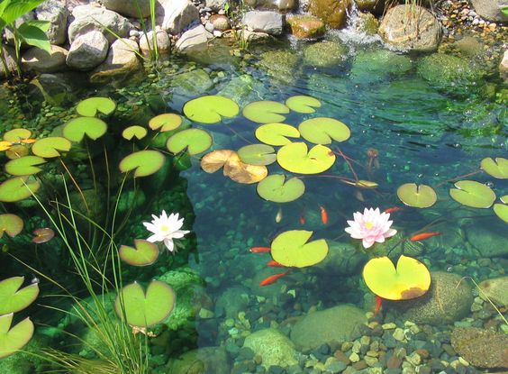 Koi Pod With Lily Pads Underwater Plants Fish Ponds Water Lilies