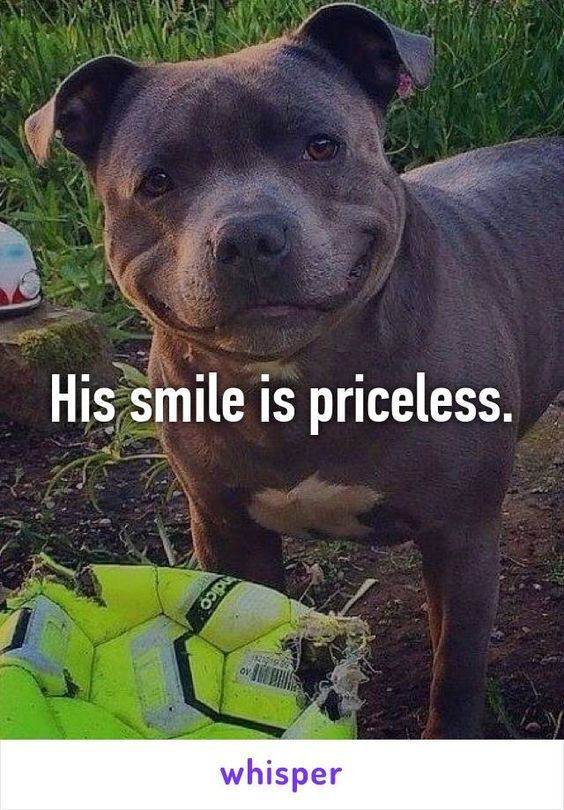 3 Puppy Dog Smile Pitbulls Happy Dogs Cute Animals