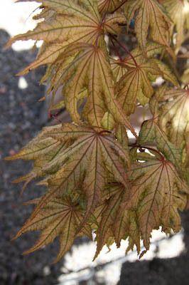 Acer palmatum Aka shigitatsu sawa