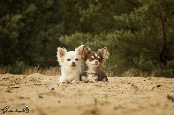 Chihuahua Duo Tiere