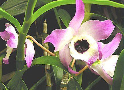 Dendrobium - Orquídeas: Técnicas de cultivo y principal especie de la orquídea Dendrobium