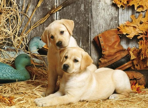 Clementoni Puzzle Hunting Dogs 1500 Puzzleteile Online Kaufen Otto Jagdhunde Clementoni Puzzle Niedliche Hunde