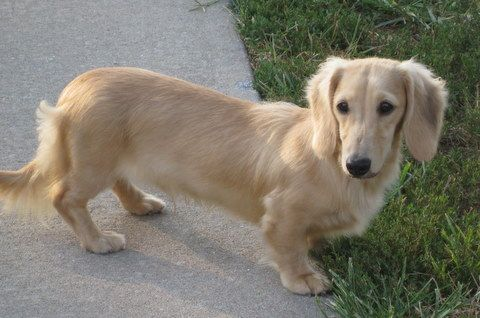 English Cream Dachshunds Home Low Rider Kennel Miniature