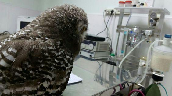 Todas nuestras aves rapaces reciben los máximos cuidados y todas las revisiones veterinarias para tenerlas en condiciones óptimas. Hoy un pollo de búho nival