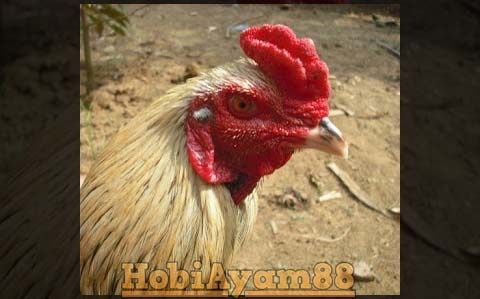 Foto Ayam Wido Cempaka Keistimewaan Ayam Suro Cempaka Menurut Primbon Jawa Ayam