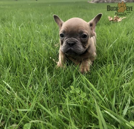 Jewel French Bulldog Puppy For Sale In Orrville Oh Buckeye