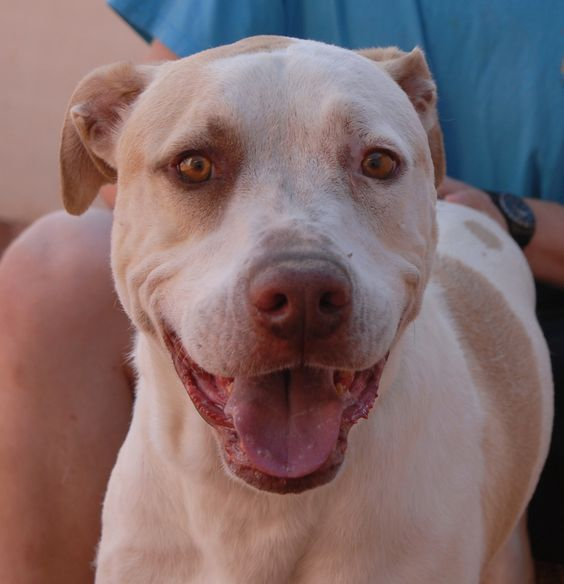Constantine is a big (77pounds), endearing boy hoping to score a terrific, responsible, loving forever home. http://nevadaspca.blogspot.com/2014/08/there-is-so-much-goodness-in-me.html
