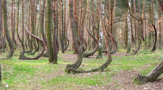 Crooked forest of Gryfino, Poland  I want to go there.