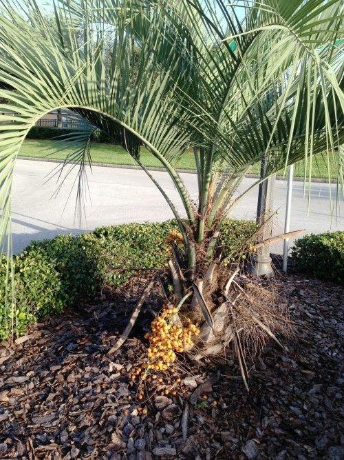 5 Winterharte Palmen Fur Nachhaltiges Gartengrun Fresh Ideen Fur Das Interieur Dekoration Und Landschaft Winterharte Palmen Winterharte Pflanzen Garten Palmen Garten
