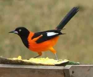 Aves Brasileiras - corrupiao-7.jpg (300×248)