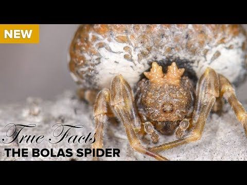True Facts The Bolas Spider Youtube Facts True