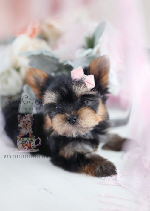Yorkshire Terrier Puppy For Sale 028 Teacup Puppies Yorkshire Terrier Puppies Teacup Puppies Yorkie Puppy
