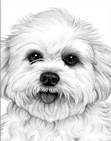 Bichon Maltese Drawing Dibujos Faciles De Perros Dibujo De