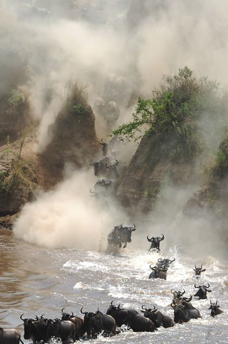 Mara River crossing . The great migration of wildebeest // Alex Goldenshtein Photography
