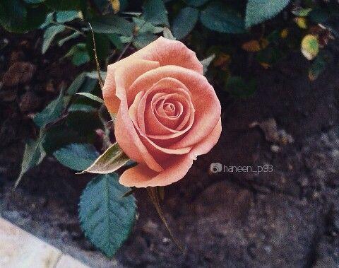 صور انستا تصويري ورد صور عدستي Flowers Plants Rose