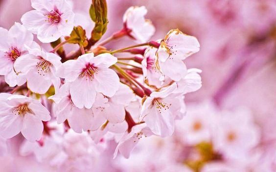 Sakura♥