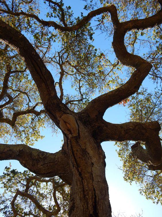 A Live Oak in the Santa Barbara Botanic Garden.