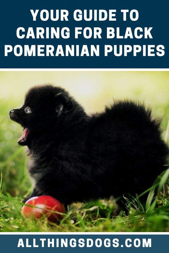 Due To Their High Energy And Spunky Temperament These Small Black Pomeranian Puppies May Take Anywhere From In 2020 Black Pomeranian Puppies Black Pomeranian Puppies