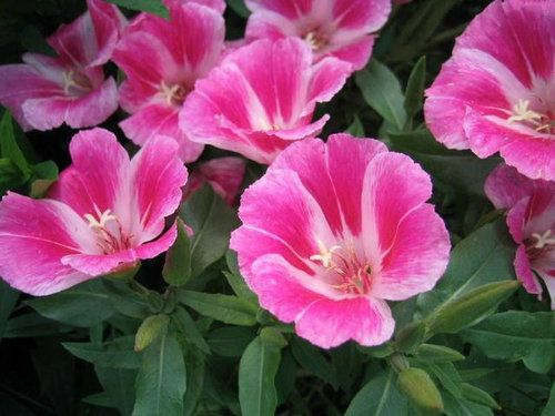 Godetia 100 Seeds Clarkia Amoena Flowers Beautiful Pink Flowers Annual Flowers