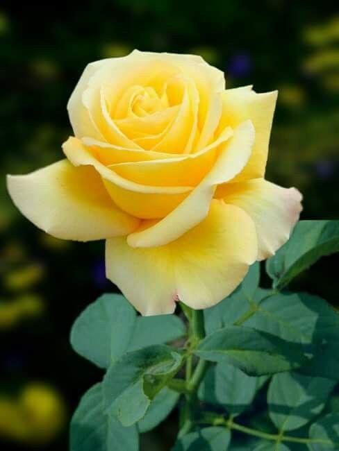 True Love Yellow Rose Flower Yellow Roses Rose Flower