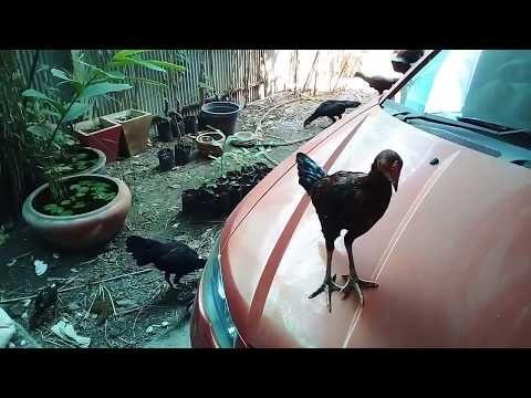 ป กพ นในบอร ด Chicken