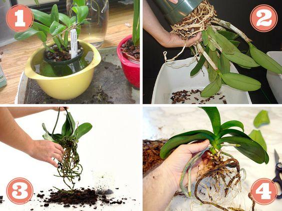 Rempotage d 39 orchid e entretien des fleurs plantes pinterest Comment entretenir orchidee