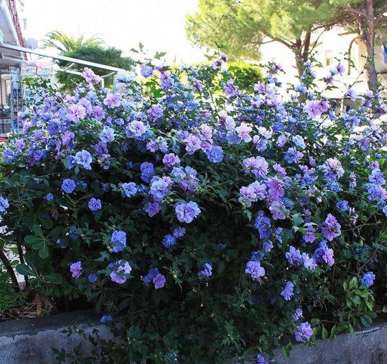 hibiscus 39 blue chiffon 39 rose of sharon shrubs bushes. Black Bedroom Furniture Sets. Home Design Ideas