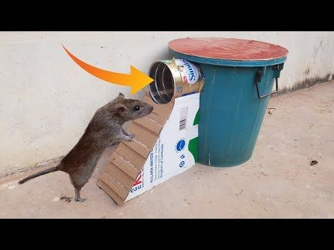 Best Mouse Trap Using Bucket Can Milk Homemade Mouse Rat Trap Youtube Best Mouse Trap Rat Traps Best Mouse