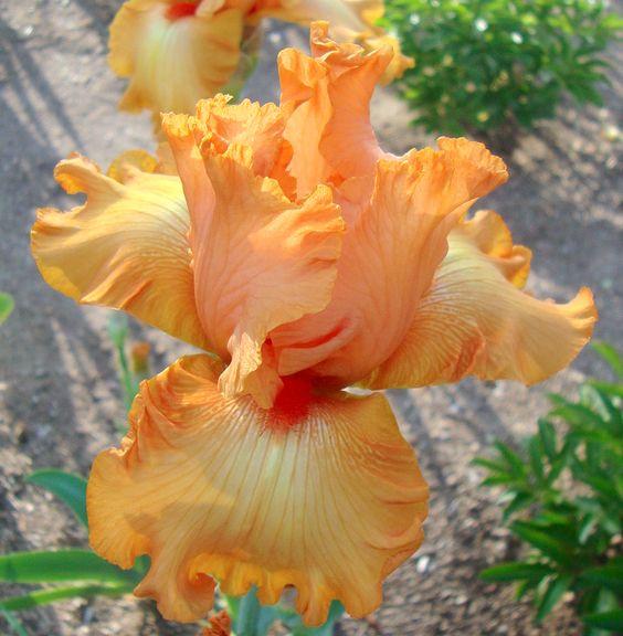 TB Iris germanica 'Orange Jubilee' (Schreiner, 1993)