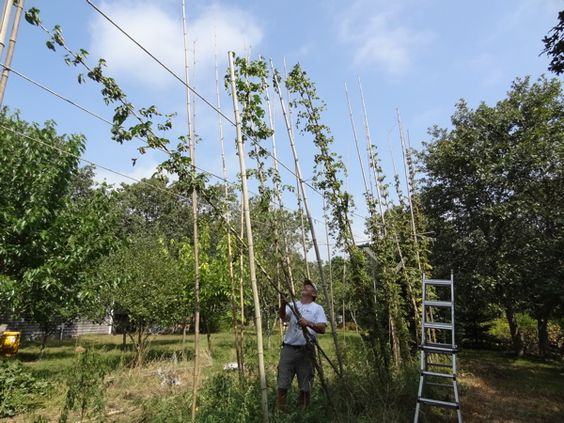 Cutting down the hop vines http://pointbrealty.com/marthas-vineyard-real-estate/?p=11214