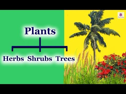 Classification Of Plants Shrubs Herbs Climbers Creepers Periwinkle Youtube In 2020 Shrubs Climber Plants What Are Trees