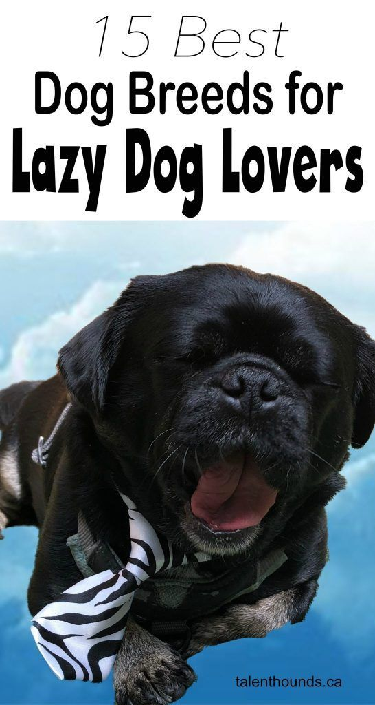 15 Best Dog Breeds For Lazy Dog Owners Lazy Dog Breeds Dog Breeds Best Dog Breeds