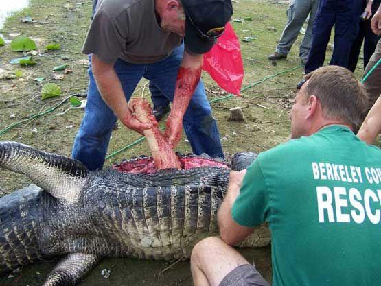 Alligator Attacks | Alligator Attack 7