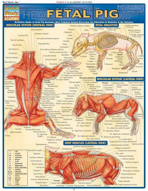 Pig muscle anatomy