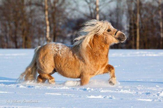 Shetland pony!!!! I always wanted one!