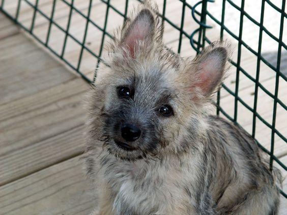 my new Cairn Terrier baby, Laddie.