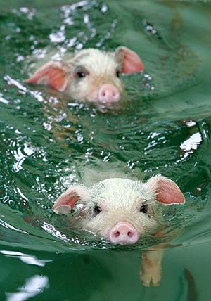 Swimming pigs! Still wanna eat them?