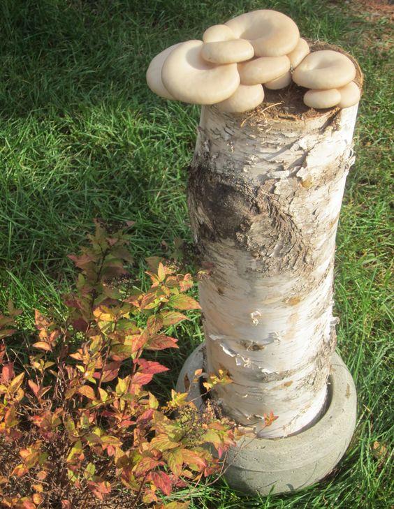 Oyster mushrooms we grow on logs mushrooms pinterest we mushrooms and logs - Growing oyster mushrooms profit ...