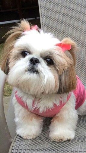 24k Likes 727 Comments Dougie The Shih Tzu Dailydougie On