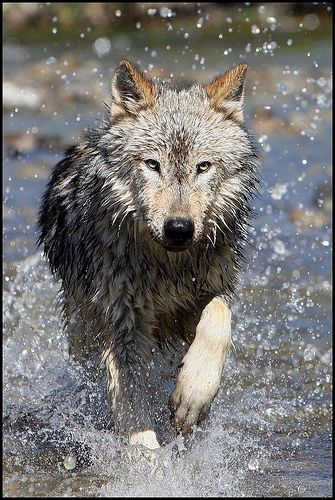 wolf in water