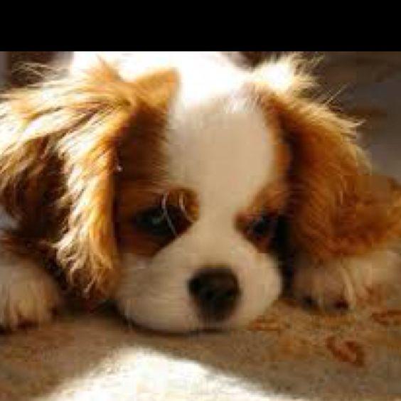 Cavalier King Charles puppy!! I wanttt!