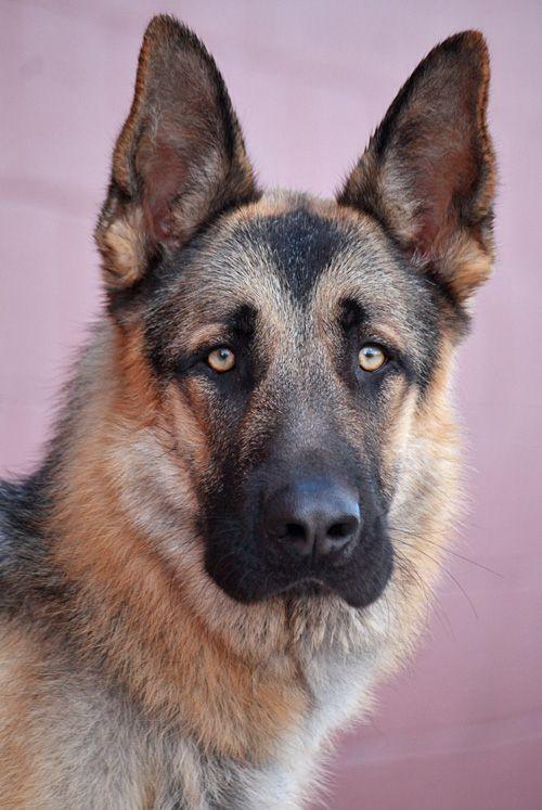 Handsome Oso Westside German Shepherd Rescue Of Los Angeles