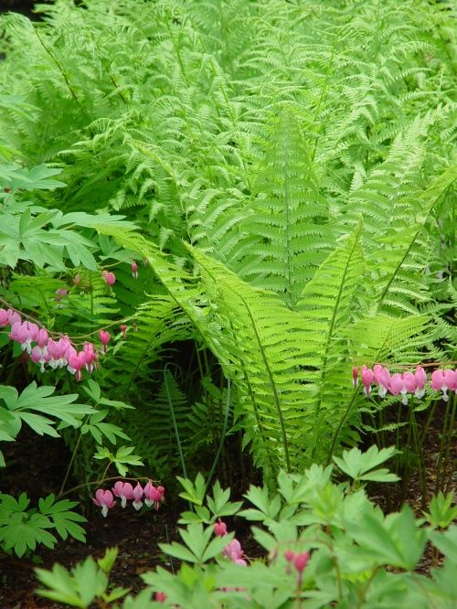 plant some bleeding hearts in a woodland garden, looks great with the ferns